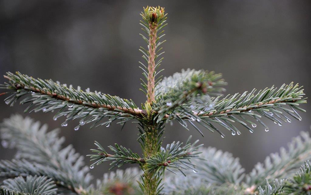 nordman-fir