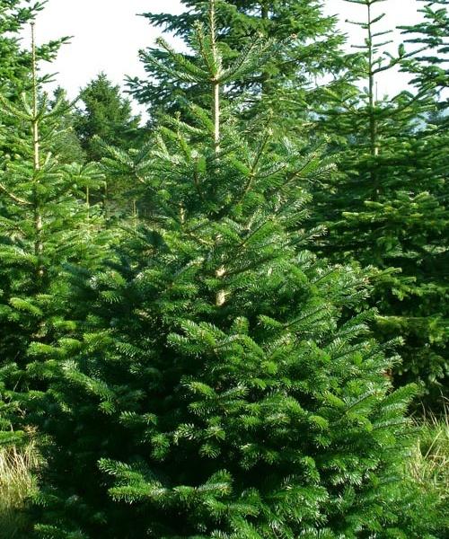 product-nordman-fir