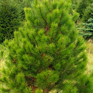 product-pine