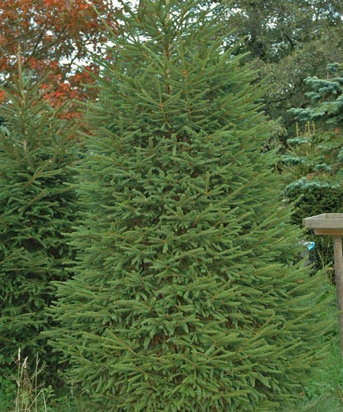 products-norway-spruce