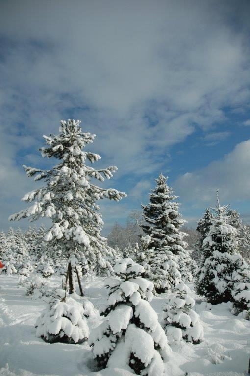 snowy-dove-syke