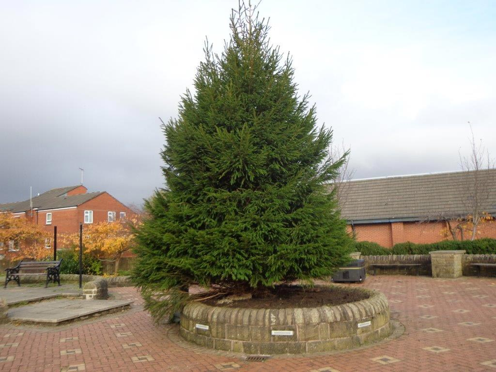 town-centre-norway-spruce4(2)